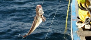 Un merlu sort de l'eau en bout de ligne